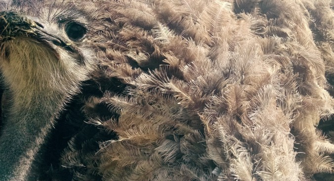 Feathery Ostrich