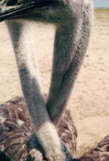 Ostrich Heart...Awwww!